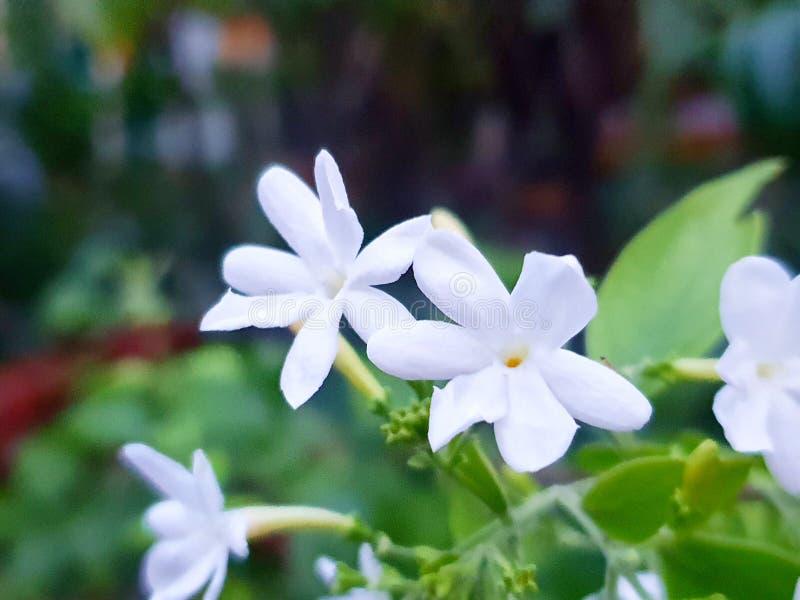在被弄脏的分支和叶子背景的白花 库存照片