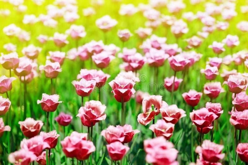 在被弄脏的晴朗的背景关闭的许多红色郁金香花,在开花的夏天领域,春天绿色草甸开花的桃红色郁金香 免版税库存图片