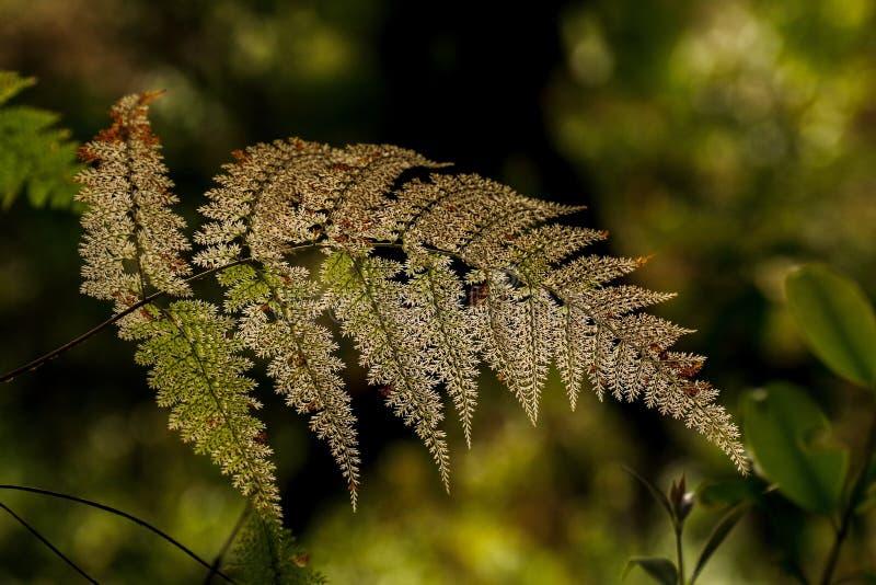 在被弄脏的森林背景的老朦胧的蕨叶状体在热带mo 库存图片