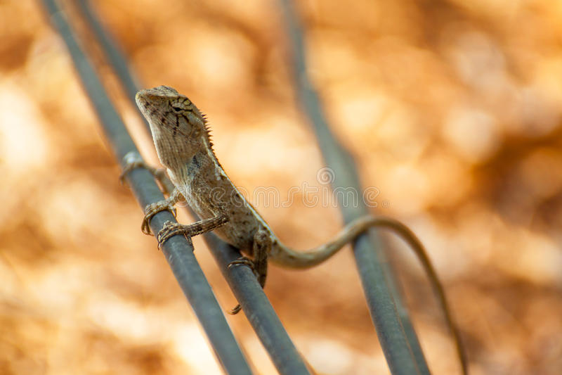 在被弄脏的橙色背景的蜥蜴,爬行动物 库存照片