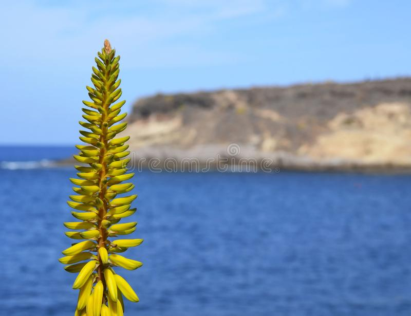 在被弄脏的海洋背景的芦荟维拉黄色花在特内里费岛,加那利群岛,西班牙 免版税图库摄影