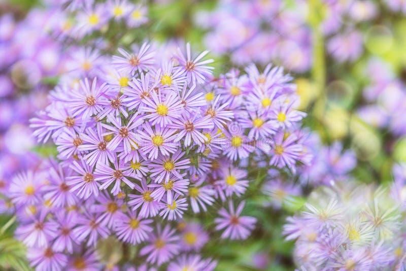 在被弄脏的绿色背景的花Symphyotrichum novi-belgii紫色颜色 库存图片