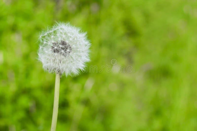 在被弄脏的绿色自然背景的蒲公英花 库存照片