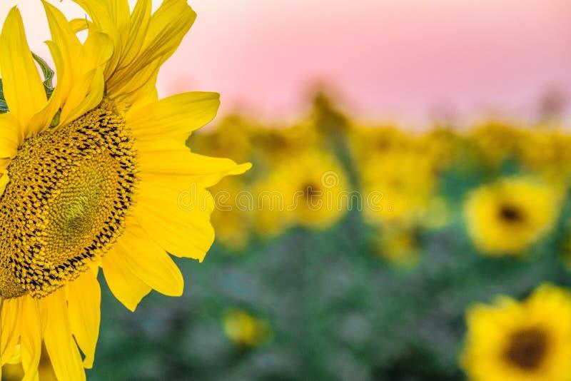 在被弄脏的背景日落领域的开花的向日葵特写镜头 库存照片