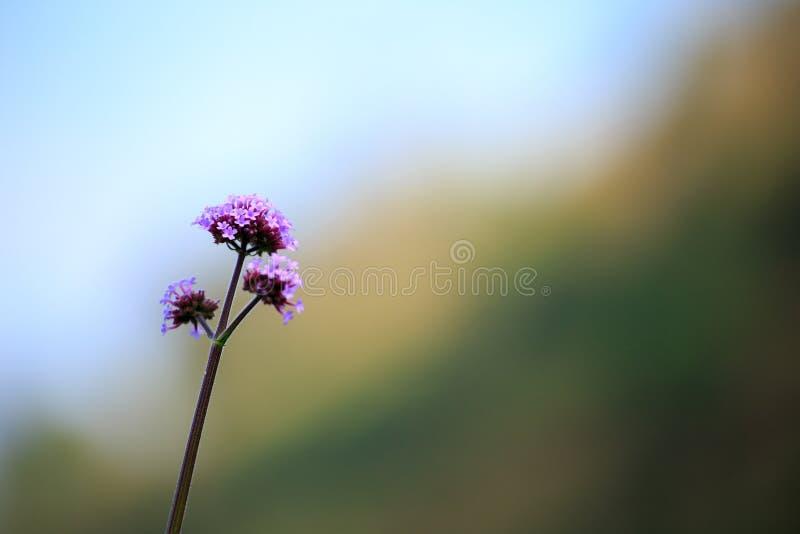 在被弄脏的背景的一朵小紫罗兰色花 免版税库存图片