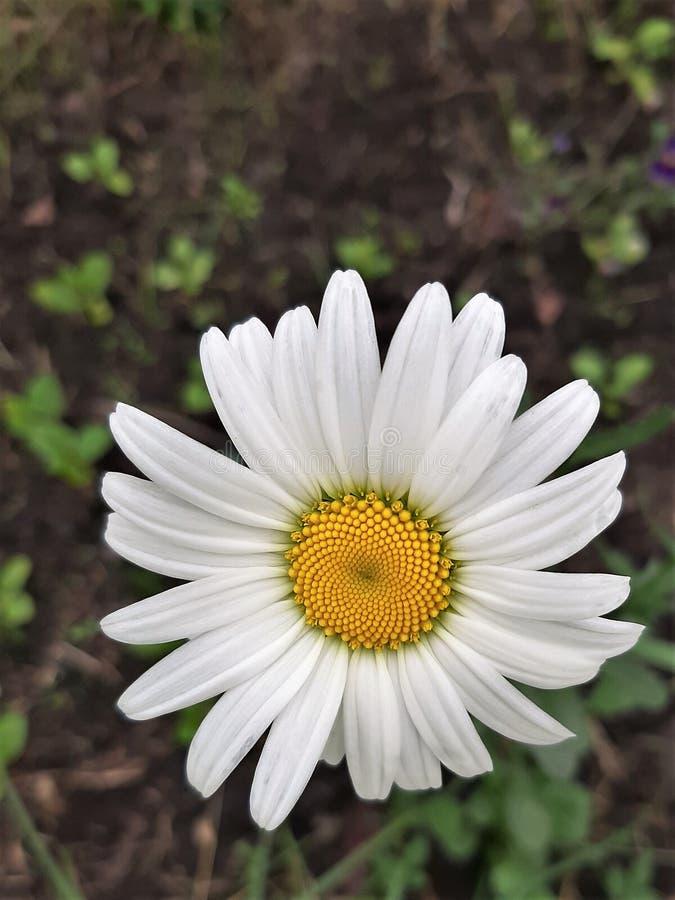 在被弄脏的背景的大白色春黄菊花特写镜头 免版税图库摄影