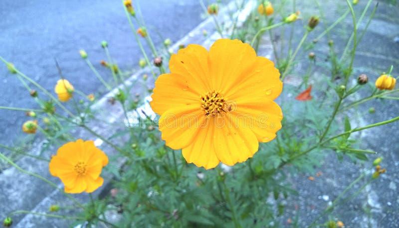 在被弄脏的背景的黄色波斯菊bipinnatus花 库存照片