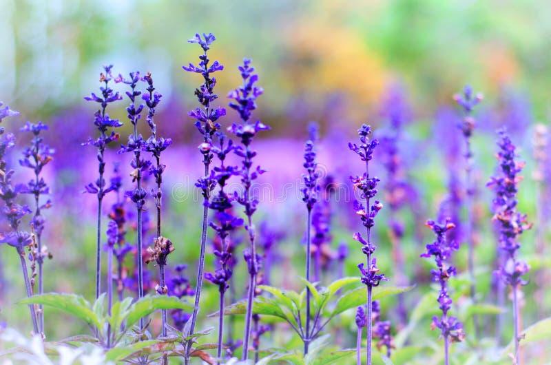在被弄脏的背景的紫罗兰色淡紫色花 免版税图库摄影
