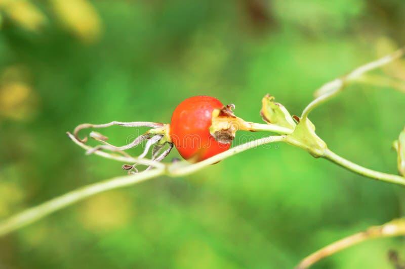 在被弄脏的背景的Dogrose莓果 库存照片