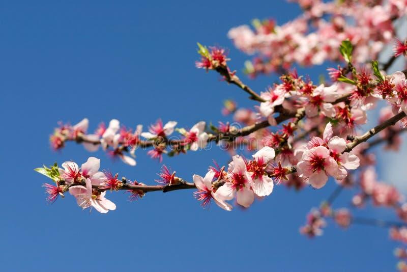 在被弄脏的蓝色背景的桃红色樱花 免版税库存图片