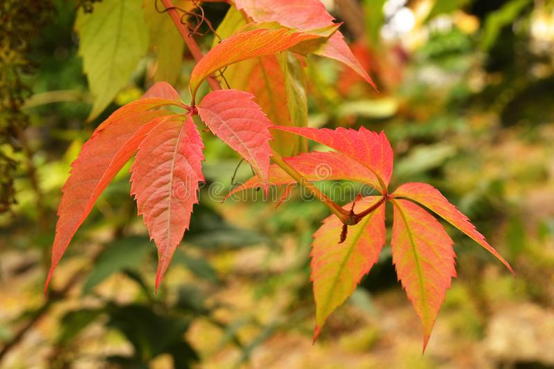 在被弄脏的黄绿温暖的秋天背景的少量红色蛇麻草叶子 库存照片