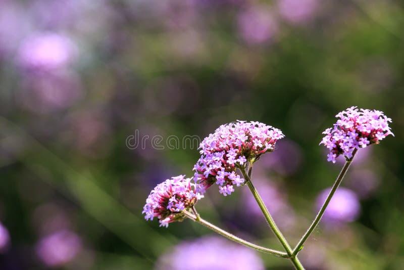 在被弄脏的backgro的三朵美丽的紫罗兰色花 免版税库存图片