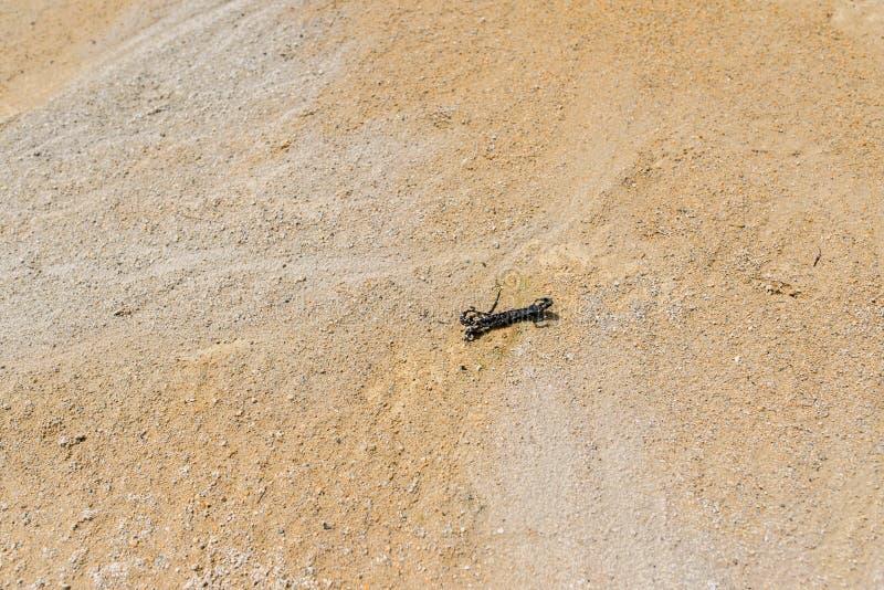 在被放弃的白陶土猎物的干蜥蜴在Harghita Bai,罗马尼亚 免版税图库摄影