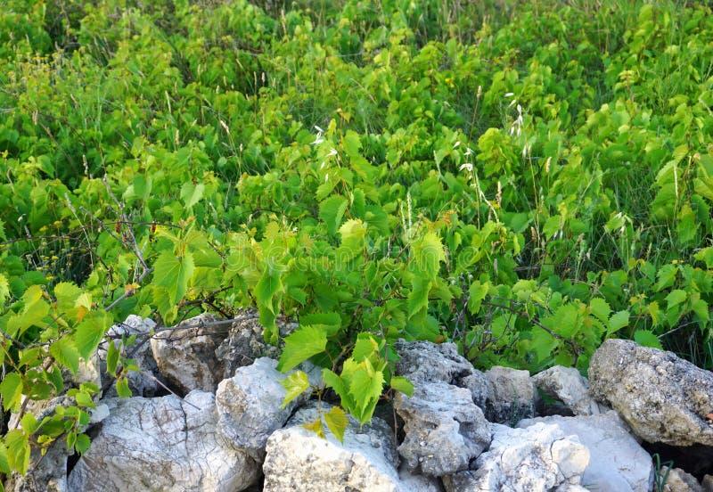 在被放弃的葡萄园前面绿色叶子的石块墙  图库摄影