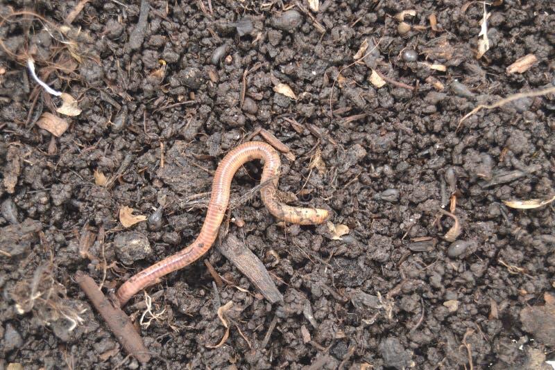 在被施肥的土壤的蚯蚓 库存图片