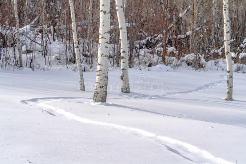 在被日光照射了雪的足迹和震动白杨在犹他 免版税库存照片