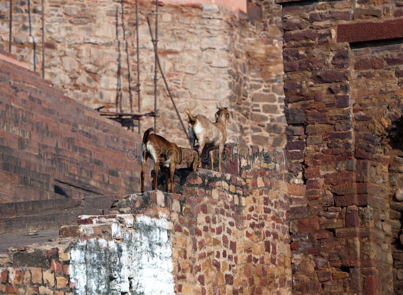 在被毁坏的古庙的墙壁上的山羊 印度 库存照片