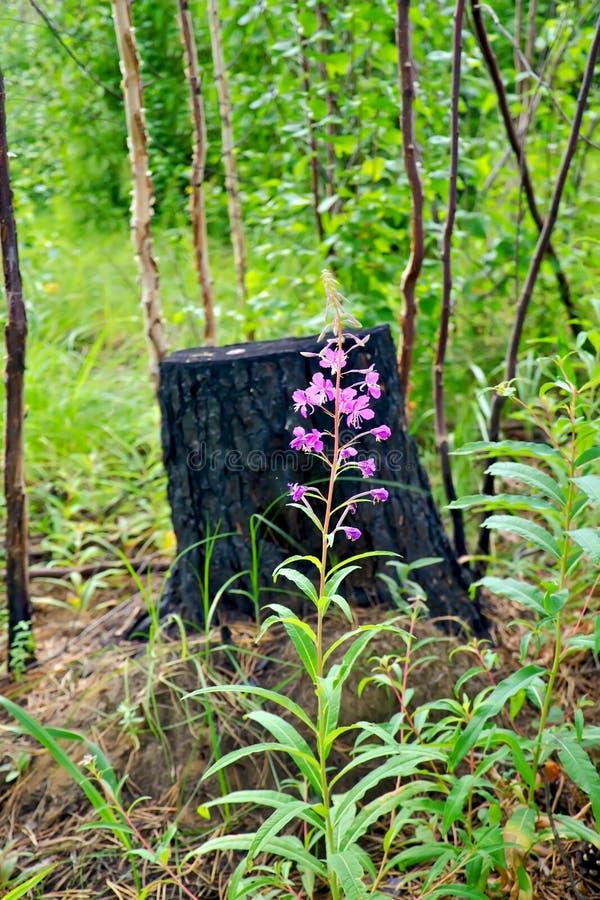 在被烧焦的树桩之中的野草 免版税库存照片