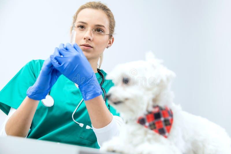 在被聚焦的看法女性狩医准备注射器接种 免版税库存图片