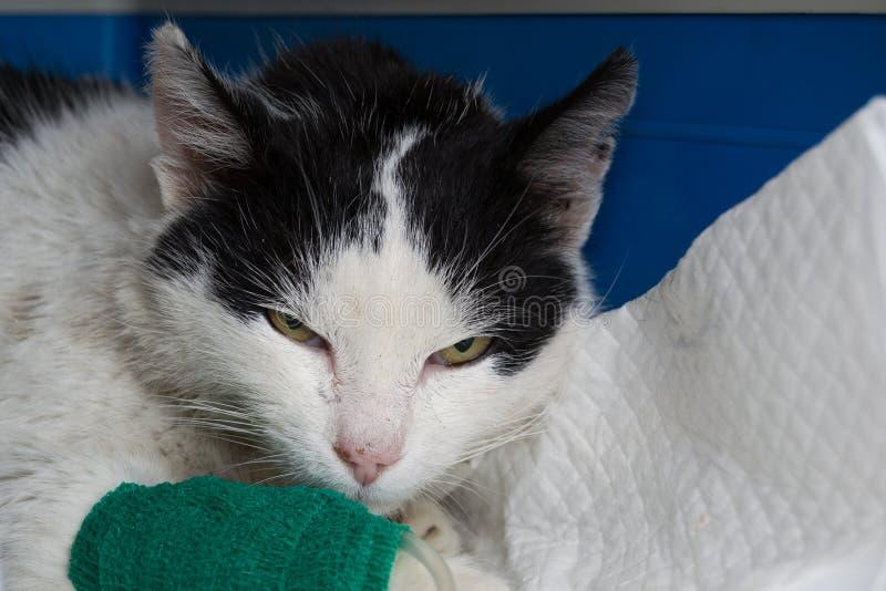 在被脱水的猫的坚持皮肤折叠 库存照片