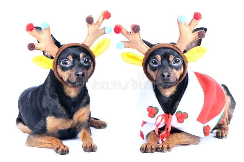 在被隔绝的新年衣裳的两条狗 在鹿服装, chr的狗 免版税库存图片