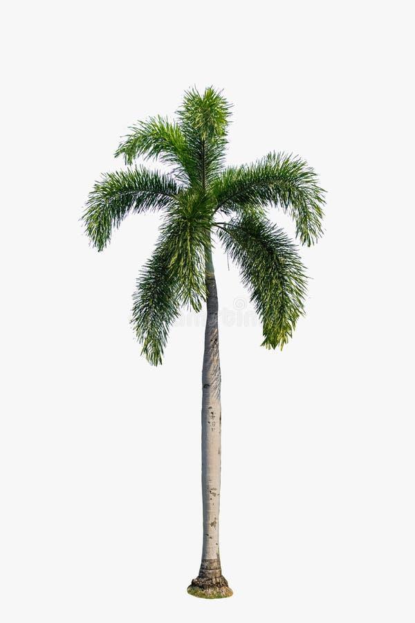 在被隔绝的白色背景的棕榈树 库存图片