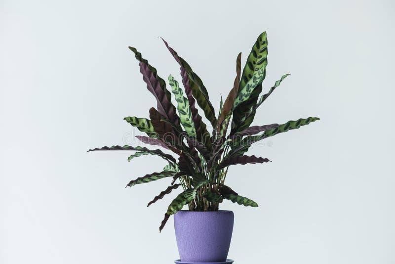 在被隔绝的罐的calathea lancifolia 库存图片