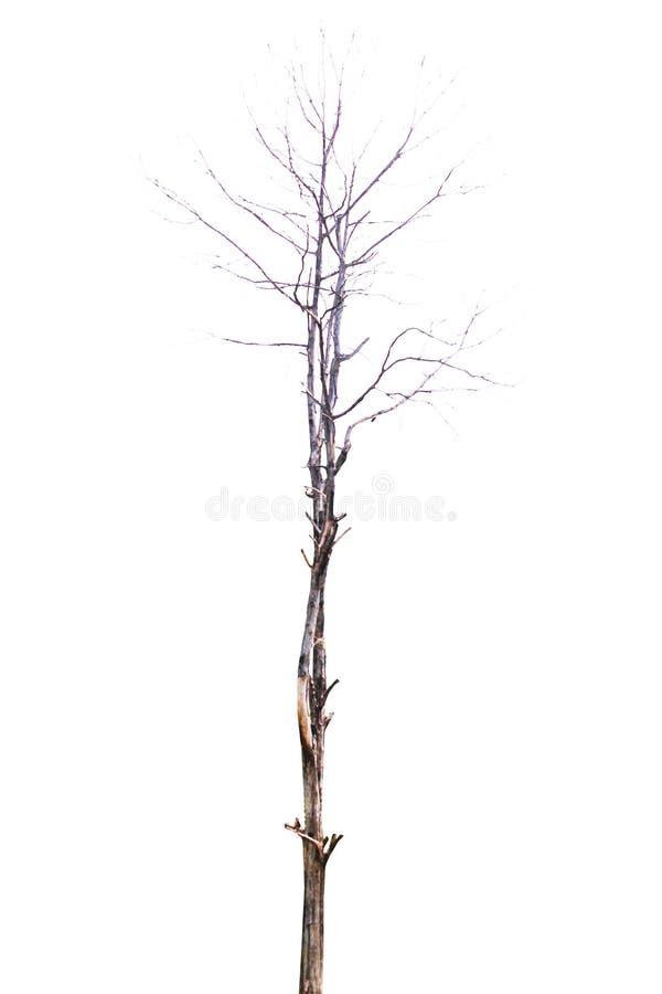 在被隔绝的背景的贫瘠树 自然 免版税库存照片