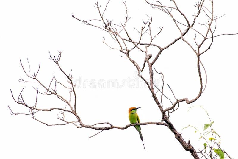 在被隔绝的分支的食蜂鸟 图库摄影