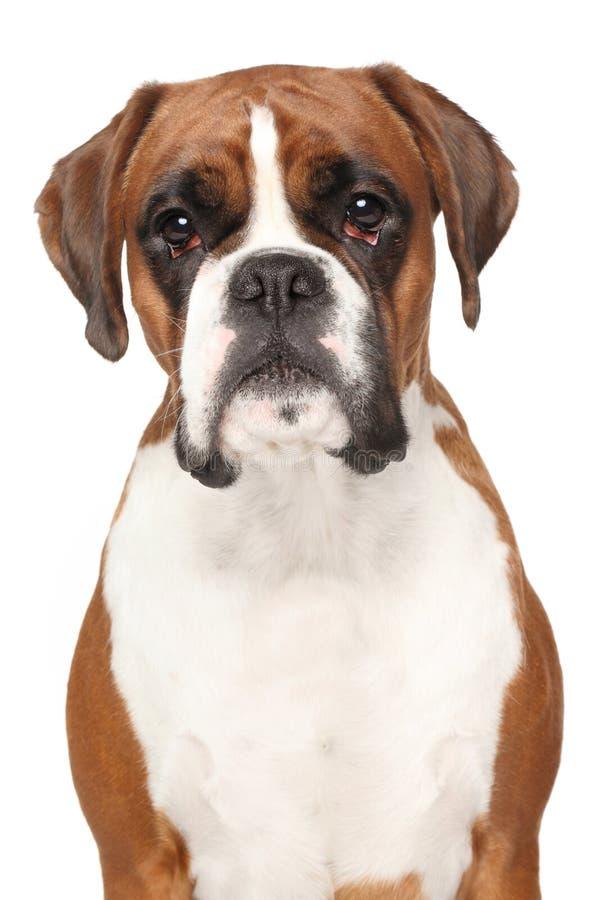 在被隔绝的白色背景的拳击手狗 库存图片