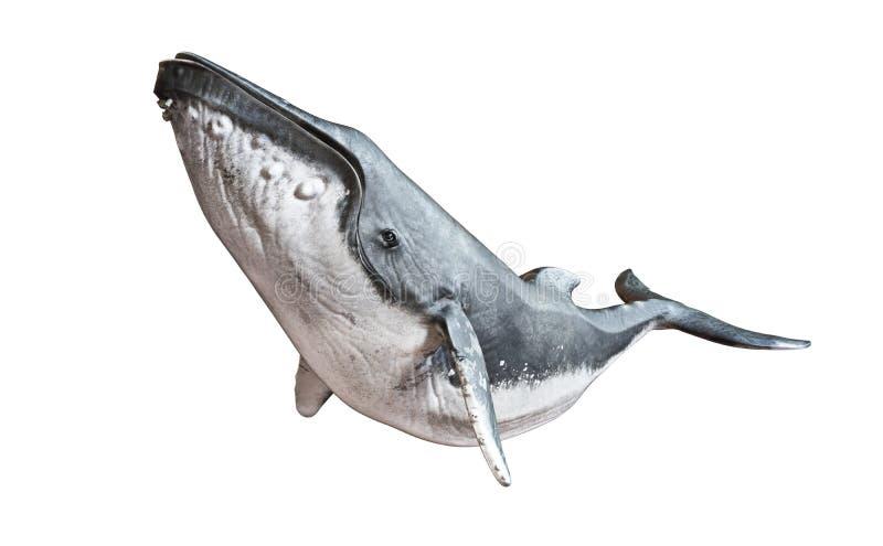 在被隔绝的白色背景的驼背鲸 免版税库存照片