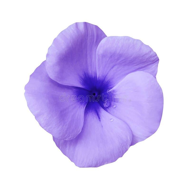 在被隔绝的白色背景的紫罗兰色花与裁减路线 特写镜头 设计的美好的紫色花紫罗兰 免版税库存图片