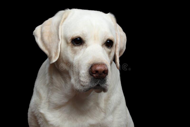 在被隔绝的黑背景前面的美丽的拉布拉多猎犬狗 图库摄影