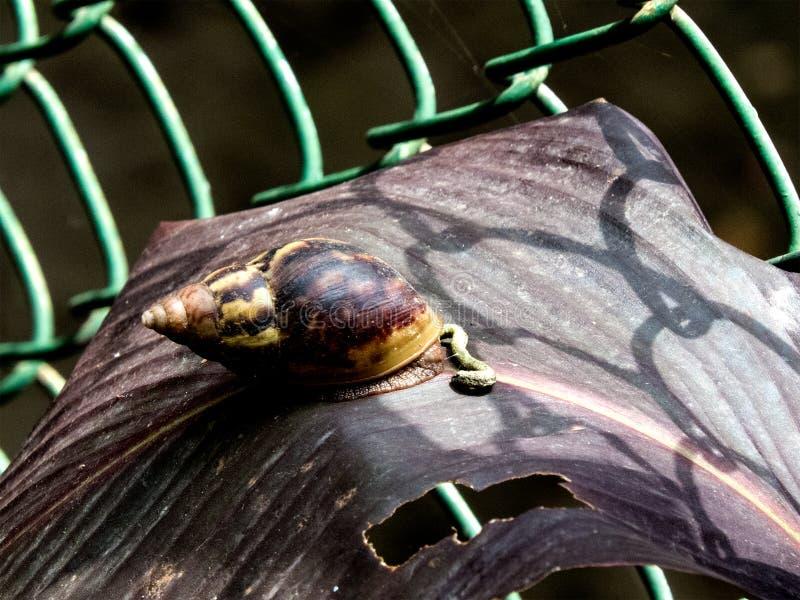 在装饰植物叶子印度的大蜗牛 免版税库存照片
