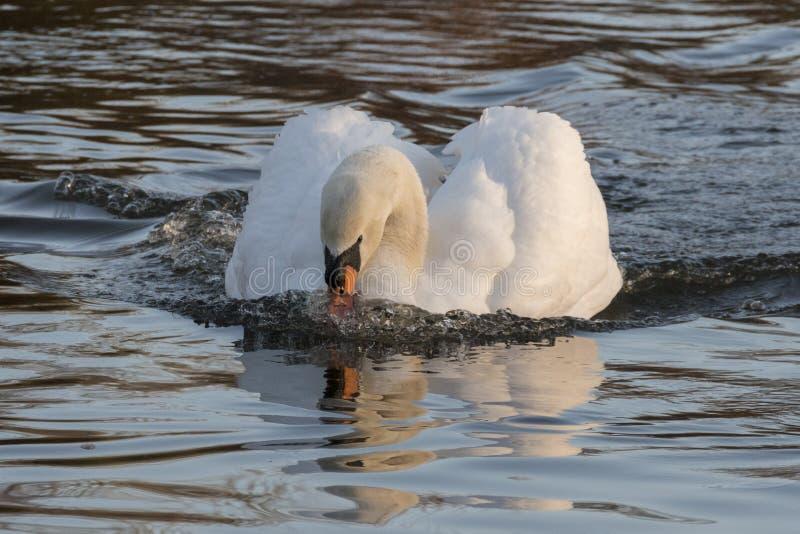 在装饰池塘,南安普敦的一只疣鼻天鹅共同性 库存图片
