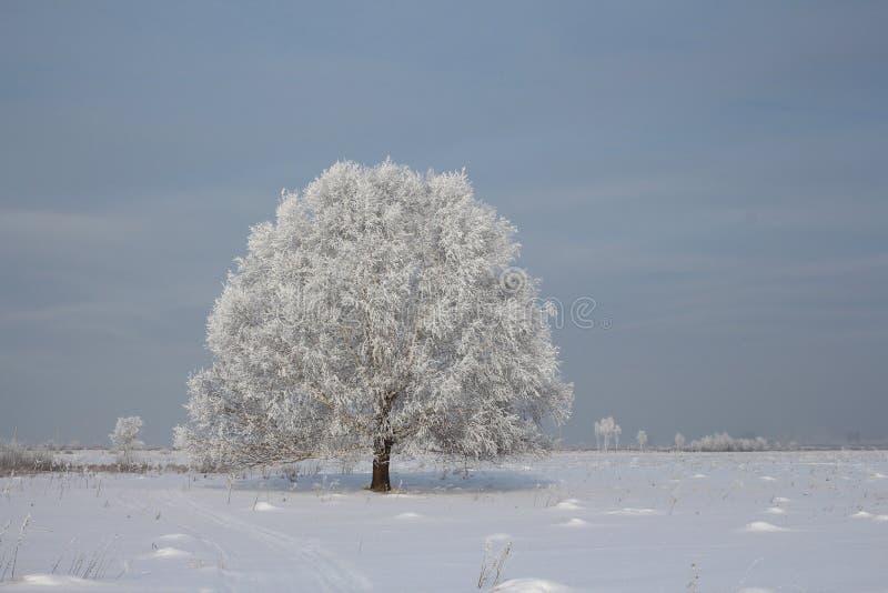 在西伯利亚积雪的桦树的俄国冬天在一个空的领域 库存图片