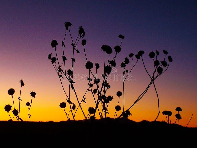 在西南日落的向日葵剪影 免版税库存图片