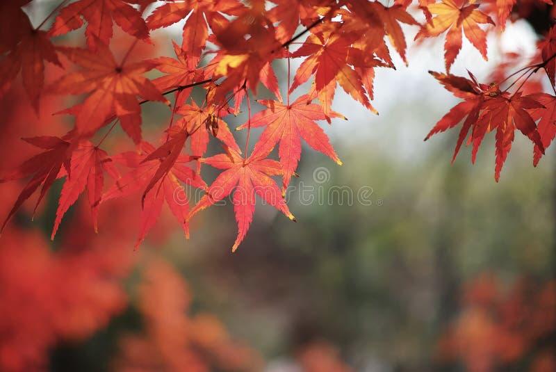 在西夏山,南京中国的红色叶子 库存照片