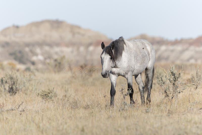 在西奥多・罗斯福国家公园荒地的野生野马 免版税库存照片