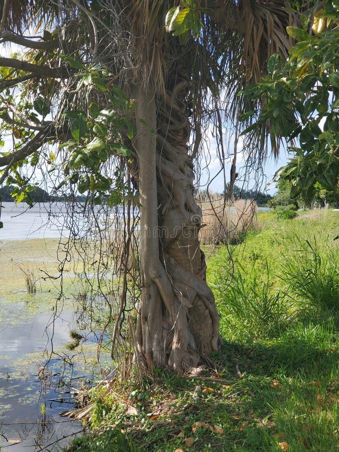 在西棕榈海滩佛罗里达打旋的树 库存图片