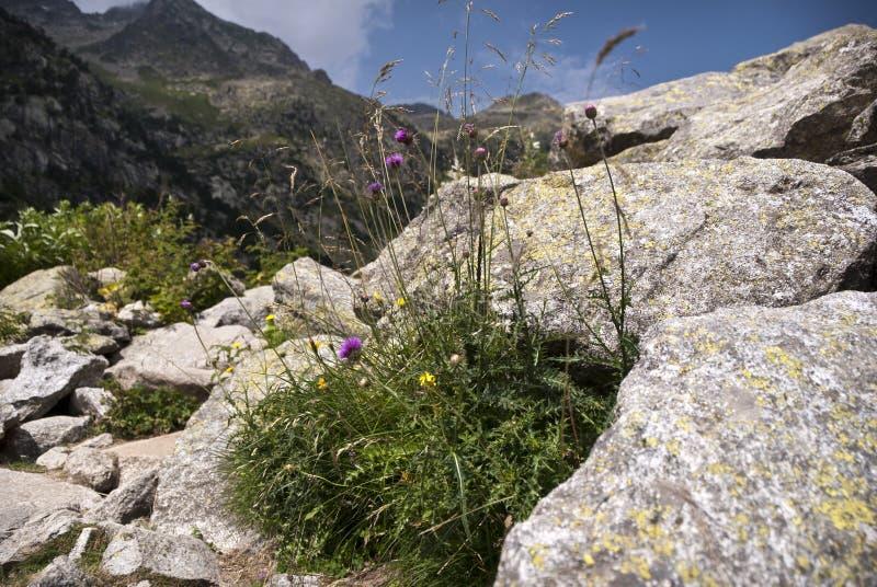 在西班牙比利牛斯的山的植物群 库存照片