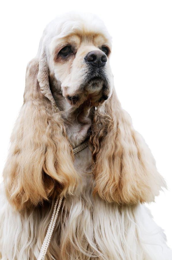 在西班牙猎狗白色的斗鸡家 图库摄影