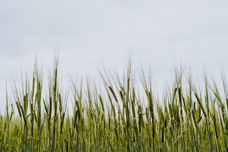 在西班牙的北部的麦田 免版税图库摄影