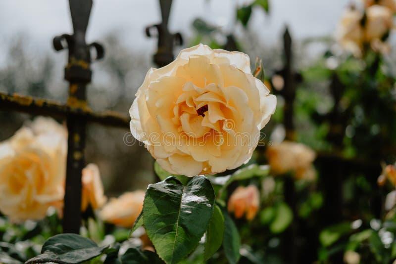 在西班牙的北部的黄色玫瑰 免版税库存照片