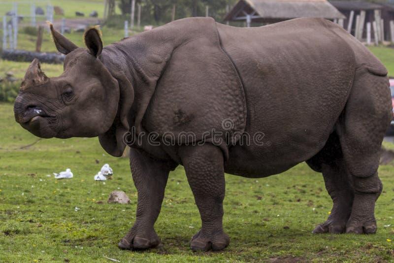 在西米德兰平原徒步旅行队公园动物园的犀牛 库存图片