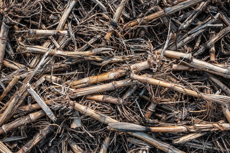 在西部地面上的干玉米棒子 库存照片