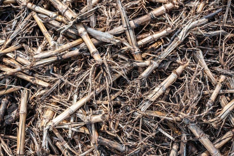 在西部地面上的干玉米棒子 免版税库存照片