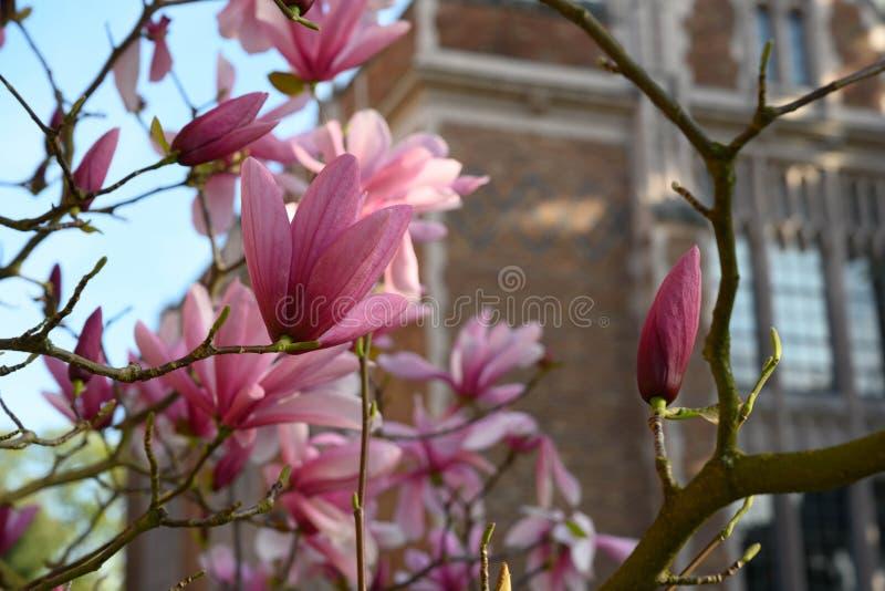 在西雅图华盛顿大学的开花的树 库存照片