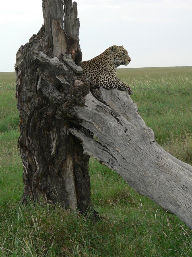 在观察员位置的豹子 免版税库存照片