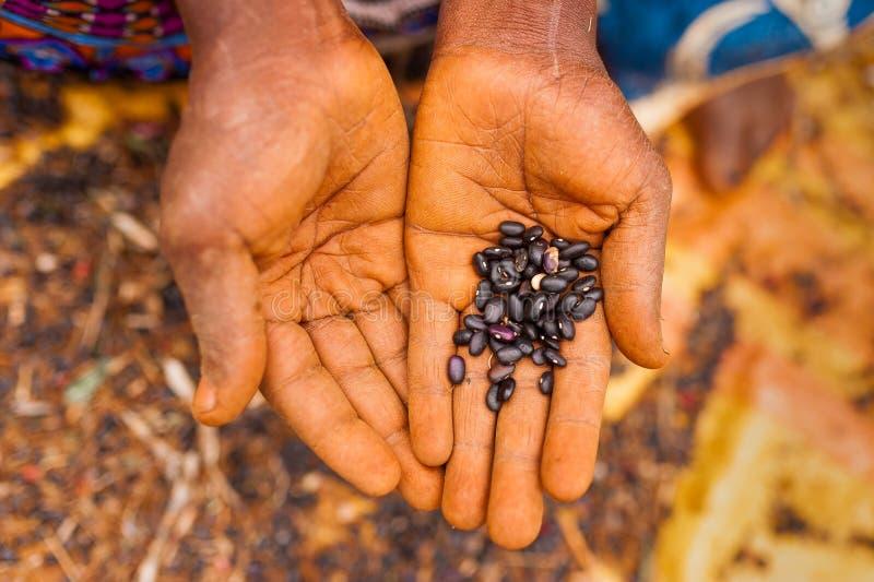 在观点的关闭上的老非洲妇女张开拿着黑豆的手室外,当工作领域时 图库摄影